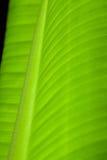 Banana Leaf Closeup. A banana leaf closeup, tangent view Stock Photos