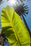 Banana leaf, coconut palm trees and the shining sun, bottom view, in the tropical island Phangan, Thailand. Banana leaf, coconut palm trees and the shining sun Royalty Free Stock Photos