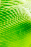 Banana. Leaf color used as the background. Or do something else Stock Images