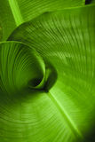 Banana Leaf Curl. A curled banana leaf closeup stock photo