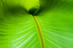 Banana Leaf Curl Stock Photography
