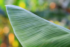 Banana leaf. Deep green banana leaf with the leaf line stock images