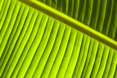 Banana leaf detail (1) Royalty Free Stock Image
