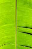 Banana leaf detail Stock Photography