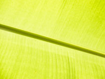 banana leaf detail Stock Photos