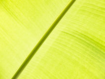 banana leaf detail Stock Images
