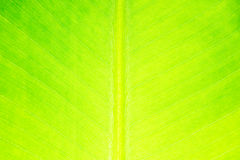Banana leaf detail texture for background Royalty Free Stock Images