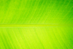Banana leaf detail texture for background Stock Image