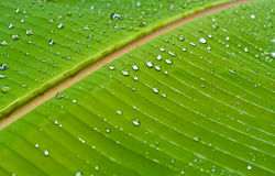 Banana leaf 04 Royalty Free Stock Photo