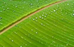 Banana leaf 04. Dew on banana leaf Royalty Free Stock Photo