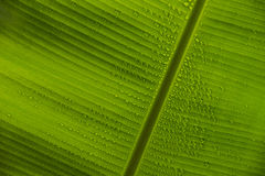 Banana Leaf and Dew Closeup. Bottom side of banana leaf with raindrops or dew close up Stock Photo