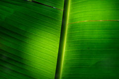 Banana leaf droop. Southeast Asia plant concept and wither texture idea Royalty Free Stock Photos