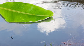 Banana leaf floating on the water Royalty Free Stock Images