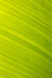 Banana leaf green floral natural background Royalty Free Stock Photo