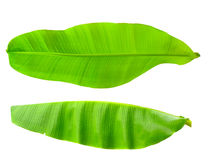 Banana leaf. Green banana leaf isolated on white background Royalty Free Stock Photography
