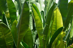 The banana leaf Stock Images