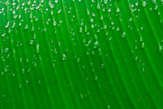 Banana leaf. Green  with water drops beautiful island Royalty Free Stock Images