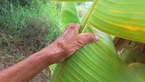 Banana leaf with hand Stock Images