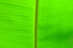Banana leaf. I use it all the Royalty Free Stock Images