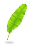 Banana leaf. Isolate banana leaf with white background Royalty Free Stock Photos