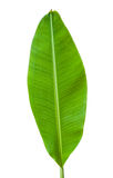 Banana leaf isolated. On white background royalty free stock photography