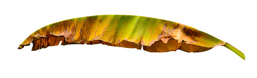 Banana leaf. Isolated on white background Stock Images