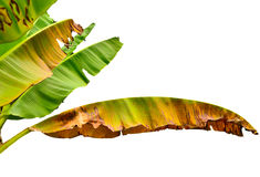Banana leaf. Isolated on white background stock photography