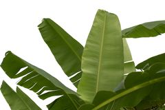 Banana leaf isolated on white background royalty free stock images