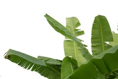 Banana leaf isolated on white background royalty free stock photo