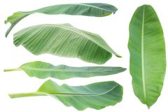 Banana leaf.Isolated on white background with clipping path. royalty free stock photo