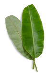 Banana leaf. Banana leaf isolated on white background, File contains a clipping path Royalty Free Stock Photos