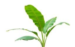 Banana leaf isolated on white background stock images
