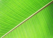Banana leaf Royalty Free Stock Photo