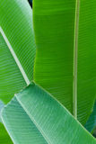 Banana leaf in layers Royalty Free Stock Photos