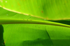 Banana leaf Royalty Free Stock Images