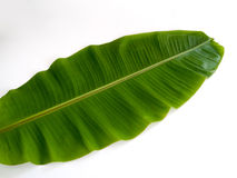 Banana leaf. The leaves of the banana tree We can bring out many applications such as containers for food or bring food royalty free stock photos