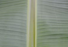 Banana leaf line texture and background Stock Photography