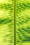 Banana leaf macro Stock Image