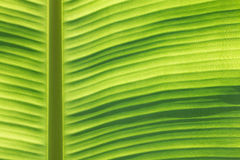Banana leaf macro. Natural banana leaf macro background Royalty Free Stock Photo