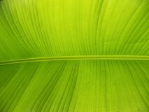 Free Banana Leaf Musaceae Green Royalty Free Stock Images - 175385479