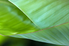 The banana leaf is naturing pattern design Royalty Free Stock Photos