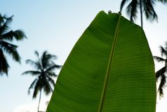 Banana Leaf and Palm Trees stock photo