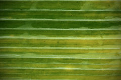 Banana leaf pattern for the background Royalty Free Stock Photo