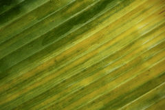 Banana leaf pattern for the background Royalty Free Stock Image
