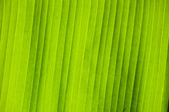 Banana leaf of pattern background Royalty Free Stock Photography
