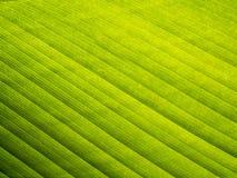 Banana leaf pattern. Close up Royalty Free Stock Image