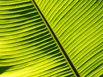 Banana leaf pattern. Close up Royalty Free Stock Images