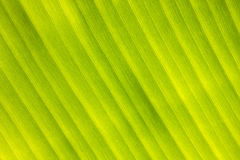 Banana leaf pattern for design textures and background. Stock Images
