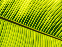 Banana leaf pattern. Under sunray Stock Images