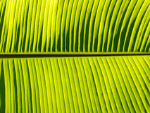Banana leaf pattern. Under sunray Royalty Free Stock Photo